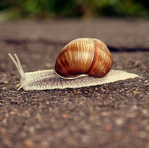 The snails, similar to the one above, have been pillaging Denmark's potagers (Photo: Tetyana Pryymak)