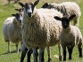 UKIP has deselected a candidate over cruelty to sheep