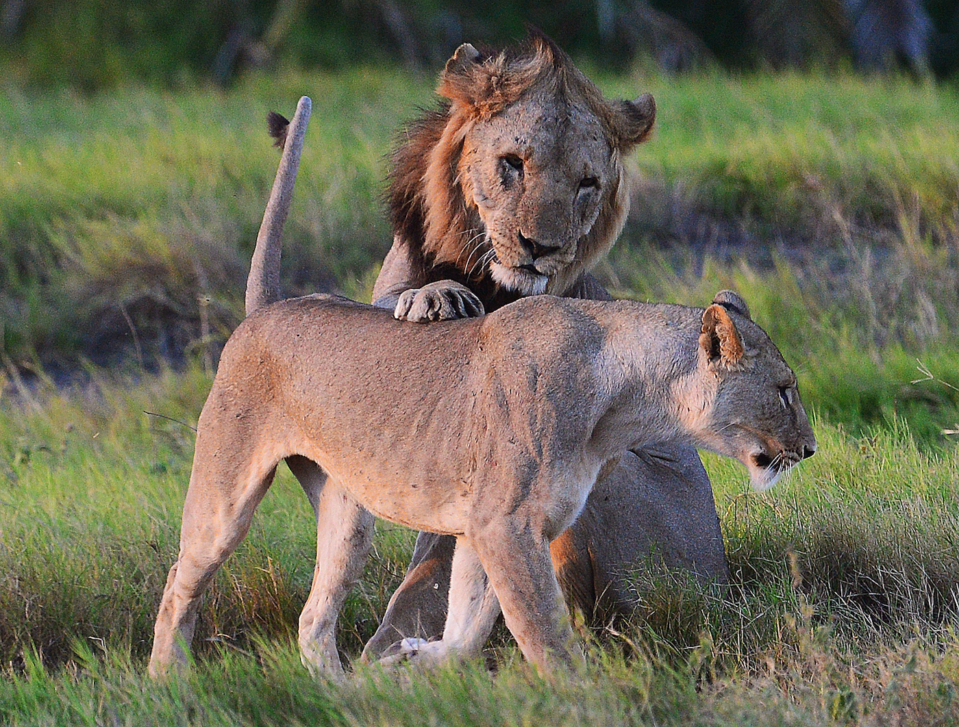 Wild lions are pictured before mating in Amboseli national park, Kenya on March 13, 2013. Amboseli's lion population only a few years ago numbered just100 and concern over lion/human confrontation remains high as numbers have declined in recent years due to increased encroachment of the human population into animal territory and their protection of cattle from predators. AFP PHOTO/Carl de Souza (Photo credit should read CARL DE SOUZA/AFP/Getty Images)