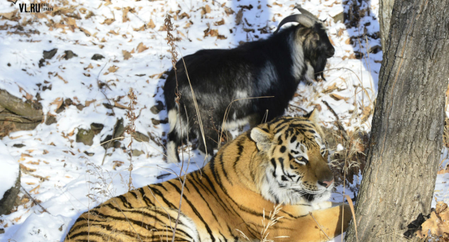 The tiger and goat sparked an unlikely friendship