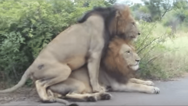 Male lions having sex with humans