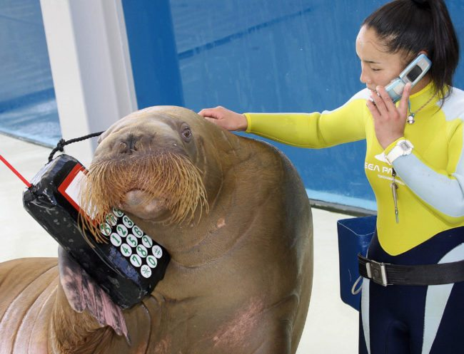 Yokohama, JAPAN: Moko (L), an 11-year-old female walrus, holds a mock of mobile phone while her trainer Tomomi Fukuda uses her mobile phone for the training of their new show at the Hakkeijima Sea Paradise aquarium in Yokohama, suburban Tokyo, 21 September 2006. Moko and other two walruses blow horns and strike various kinds of poses during the show. AFP PHOTO / Yoshikazu TSUNO (Photo credit should read YOSHIKAZU TSUNO/AFP/Getty Images)