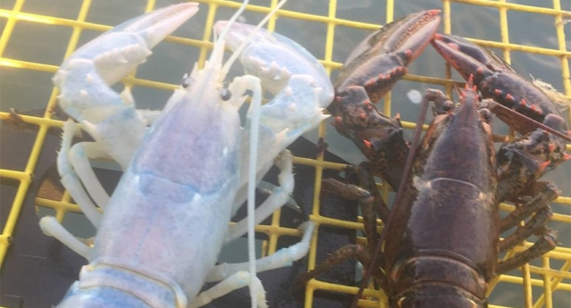 'Ghost' Lobster Caught By Fisherman From Ocean Off Maine