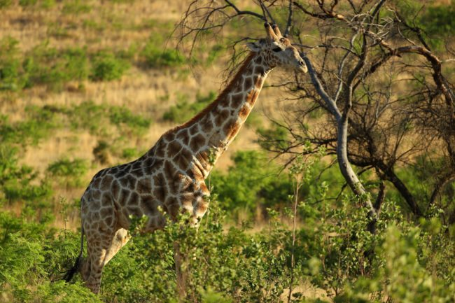 SUN CITY, SOUTH AFRICA - NOVEMBER 11: A Giraffe in the Pilanesberg National Park before the third round of the Nedbank Golf Challenge at Gary Player CC on November 11, 2017 in Sun City, South Africa. (Photo by Richard Heathcote/Getty Images)