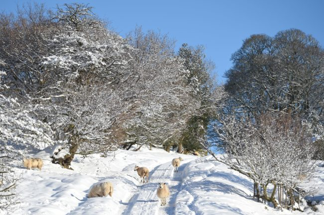 Sheep graze in a snow covered field near Wrexham, north Wales as heavy snowfall blankets the area on December 11, 2017. The heaviest snowfall to hit Britain in four years caused widespread yesterday with roads becoming hazardous and flights grounded following runway closures. / AFP PHOTO / PAUL ELLIS        (Photo credit should read PAUL ELLIS/AFP/Getty Images)