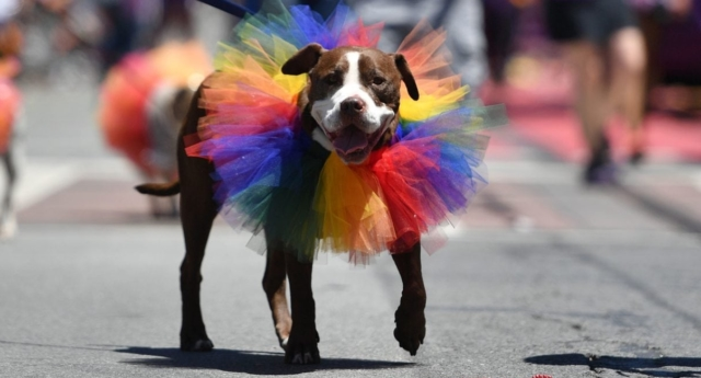A dog is walked along the San Francisco Pride parade route in San Francisco, California (JOSH EDELSON/AFP/Getty)