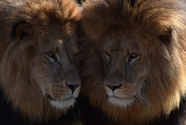Two lions are pictured at the zoo of Hellabrunn in Munich, southern Germany, on March 23, 2017 (Christof Stache/AFP/Getty)