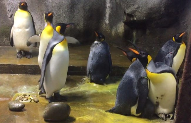 The gay penguins screamed at the straight couple when they suddenly reappeared