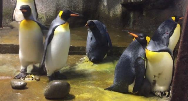 The gay penguins were reluctant to return the child (Odense Zoo/youtube)