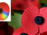 L - A rainbow poppy. R- Poppies are packaged for shipping by volunteers at the The Royal British Legion Poppy Appeal Headquaters (Ben Pruchnie/Getty)