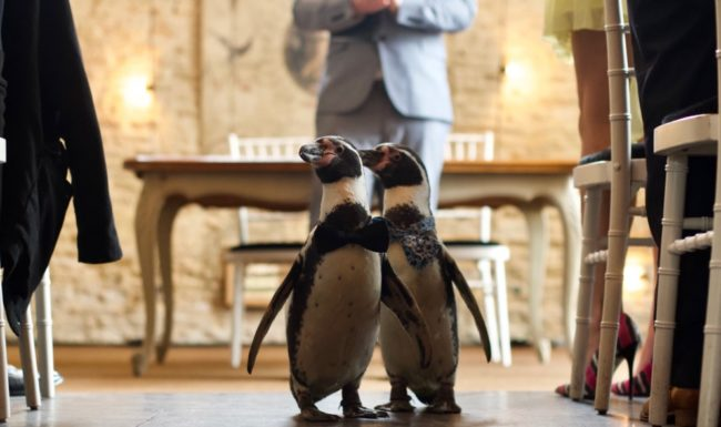 Gay penguin couple Ferrari and Pringle (Wedding Video Company)