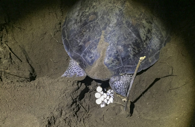 Green Sea Turtle laying eggs that can change sex