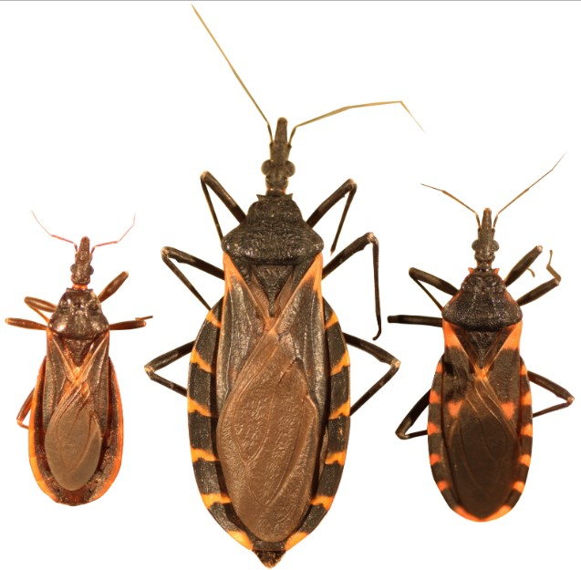 (Left to right) Triatoma protracta, the most common species of kissing bugs in the western U.S.; Triatoma gerstaeckeri, the most common species in Texas; Triatoma sanguisuga, the most common species in the eastern U.S. Scale bar represents 25mm or approximately 1 inch.