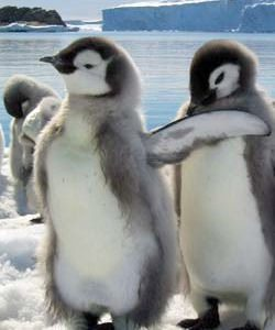 """It is not uncommon for male penguins to """"pair bond""""."""