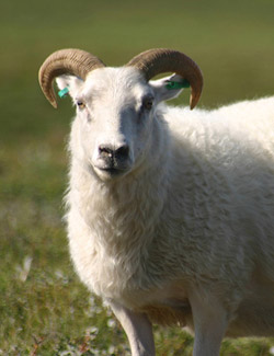 About one in ten rams mount other rams instead of ewes. photo: biologyfishman@flickr