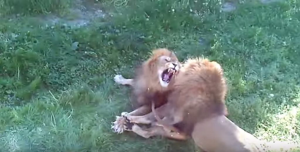Two male lions show gay 'pride' by mounting each other, ignore lionesses