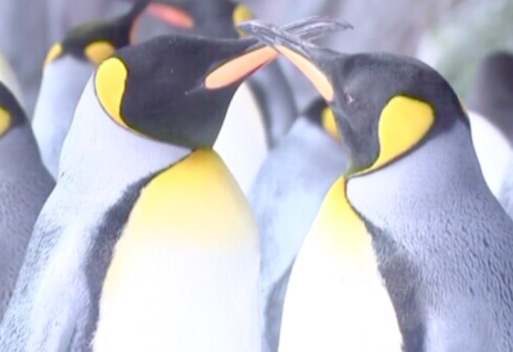 Lesbian penguin couple Thelma and Louise