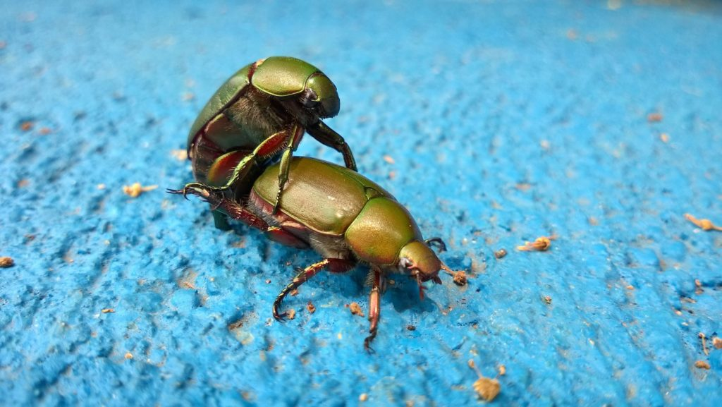 Homosexuality in nature: Gay animals. Beetles having sex